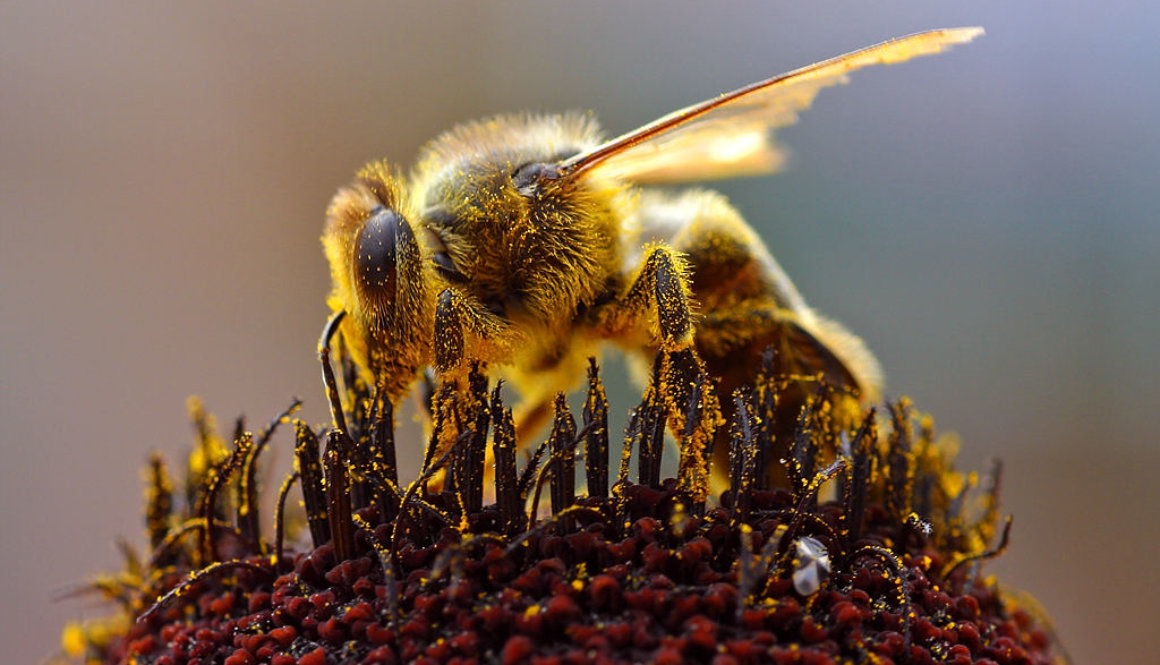 Bees_Collecting_Pollen_2004-08-14
